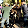 """Mountain View firefighters work together to rescue a cow that had fallen into a well on Friday, Oct. 7, at 12166 Jay Rd. in Erie. For more photos and video of the rescue go to  <a href=""""http://www.dailycamera.com"""">http://www.dailycamera.com</a><br /> Jeremy Papasso/ Camera"""