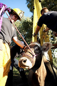 Mountain View firefighter Ben Carter, left, works to rescue a cow that had fallen into a well on Friday, Oct. 7, at 12166 Jay Rd. in Erie. For more photos and video of the rescue go to www.dailycamera.com Jeremy Papasso/ Camera