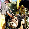 """Mountain View firefighter Ben Carter, left, works to rescue a cow that had fallen into a well on Friday, Oct. 7, at 12166 Jay Rd. in Erie. For more photos and video of the rescue go to  <a href=""""http://www.dailycamera.com"""">http://www.dailycamera.com</a><br /> Jeremy Papasso/ Camera"""