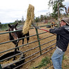 "Mike Walker, co-owner of the Colorado Mountain Ranch near Gold Hill, feeds the horses Sunday evening. He lost his home, barn and workshop, but is rebuilding with his wife Lynn.<br /> For more photos and a video of the ranch, go to  <a href=""http://www.dailycamera.com"">http://www.dailycamera.com</a>.<br /> Cliff Grassmick / August 28, 2011"
