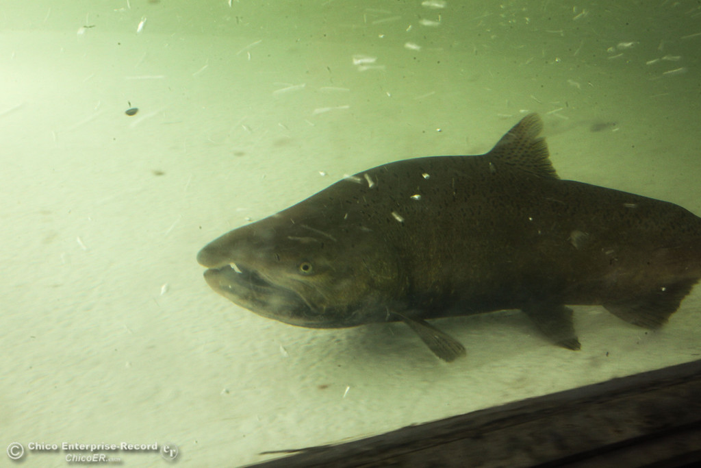 . A chinook salmon hangs out in the underwater viewing area of the fish ladder that Department of Fish and Wildlife had recently opened Oroville on Monday, September 16, 2013. Salmon and Steelhead will make their way from the diversion dam into the fish hatchery to spawn. (Frank Rebelo/Staff Photo)