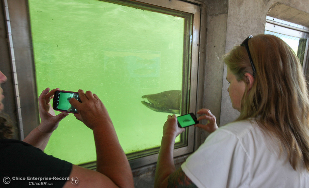 . Barbara Haddox and Sharon Turner of Santa Cruz, take photos of one of the first salmon to climb the ladder, in the underwater viewing area on Monday, September 16, 2013. Salmon and Steelhead will make their way from the diversion dam into the fish hatchery to spawn. (Frank Rebelo/Staff Photo)