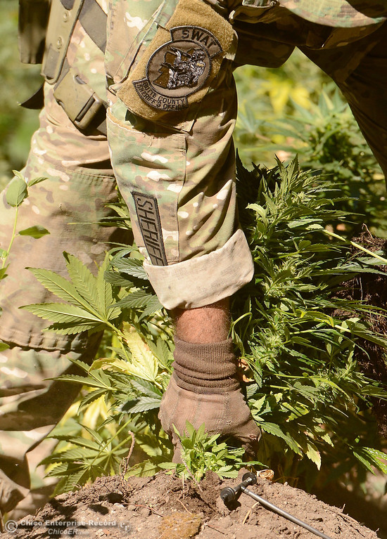. An officer pulls a plant out of a hole as several members of a multi agency Special Enforcement Unit eradicate nearly 7,300 marijuana plants from a remote area in Upper Concow Thursday, Aug. 15, 2013. Two suspects were arrested in the marijuana garden. (Bill Husa/Staff Photo)