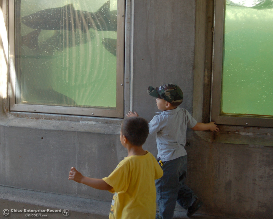 . Ami Johnson, 5, and Timmy Johnson follow the fish through the fish ladder viewing area. The Salmon Festival in Oroville on Saturday, Sept. 28, 2013, celebrated the lifecycle of chinook salmon as the fish returned from the Pacific Ocean to the Feather River Fish Hatchery. (Dan Reidel/Staff Photos)