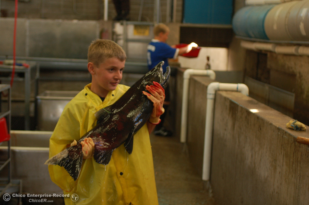 . Dillon Jordan, 9, holds up a salmon during the Salmon Festival in Oroville on Saturday, Sept. 28, 2013, which celebrated the lifecycle of chinook salmon as the fish returned from the Pacific Ocean to the Feather River Fish Hatchery. Jordan help take fertilized eggs to the storage area. (Dan Reidel/Staff Photos)�