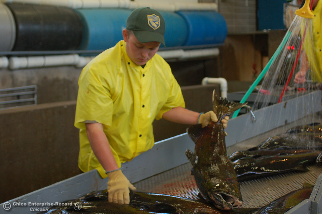 . Franky Hackett sorts fish during the Salmon Festival in Oroville on Saturday, Sept. 28, 2013, which celebrated the lifecycle of chinook salmon as the fish returned from the Pacific Ocean to the Feather River Fish Hatchery. (Dan Reidel/Staff Photos)�