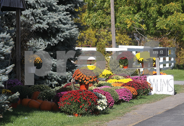 Spencer Tulis/Finger Lakes Times Fall mums are the word at this stand just off Route 245 in Gorham.