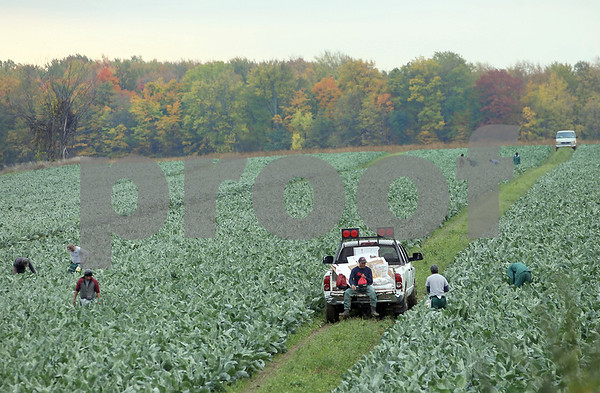 Spencer Tulis/Finger Lakes Times Farmworkers work a field on County Road 4 in the town of Seneca trying to harvest before the season's first hard freeze.