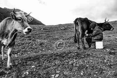 An elderly woman manually milks a cow in the village of Ushguli in Svaneti, Georgia, part of a recognized UNESCO World Heritage Site. Located at an altitude of 2,100 meters near the foot of Shkhara, one of the highest summits of the Greater Caucasus mountains, Ushguli is one of the highest continuously inhabited settlements in Europe. It is home to 70 families and covered in snow for 6 months of the year. Often the road to Mestia is impassable. Ushguli shares the Svaneti region traditional koshki, defensive stone structures built from the 9th century onward and is known for it's architectural treasures and picturesque landscapes.