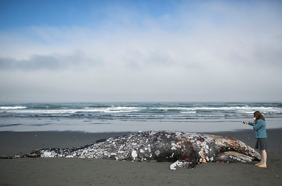 Gray whale carcass wash up on Manila Beach