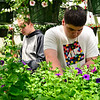 KRISTOPHER RADDER - BRATTLEBORO REFORMER<br /> Winchester resident Johnathan Deraps, a freshman at Keene High School, look through the flowers to find ones that need to be plucked.