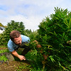 KRISTOPHER RADDER — BRATTLEBORO REFORMER<br /> Andy Loughney, of Bravo Botanicals, cuts the stock of the hemp plant as they start to harvest the plants for CBD oil.