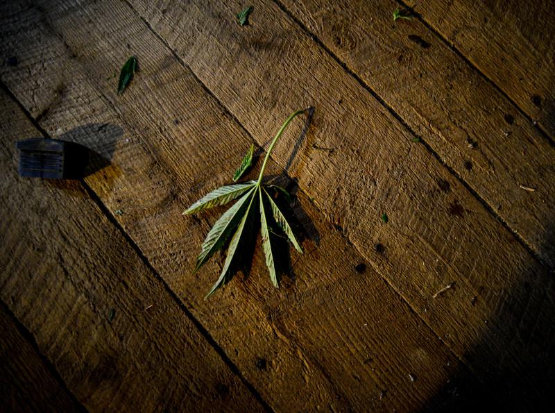 KRISTOPHER RADDER — BRATTLEBORO REFORMER<br /> A hemp leaf that fell off one of the plants.