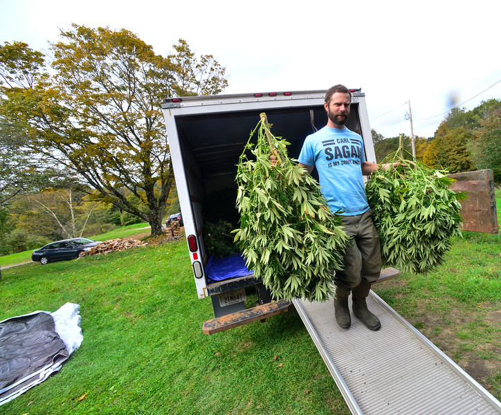 KRISTOPHER RADDER — BRATTLEBORO REFORMER<br /> Andy Loughney, of Bravo Botanicals, helps unload 100 hemp plants at a barn in Guilford so they can be hung to dry.