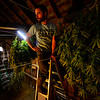 KRISTOPHER RADDER — BRATTLEBORO REFORMER<br />  Andy Loughney, of Bravo Botanicals, stands on a ladder as he hangs several hemp plants to dry.