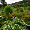 KRISTOPHER RADDER — BRATTLEBORO REFORMER<br /> Andy Loughney, of Bravo Botanicals, fills up the back of a pickup truck with hemp plants.