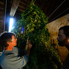 KRISTOPHER RADDER — BRATTLEBORO REFORMER<br /> Ben James and  Andy Loughney, of Bravo Botanicals, talk about the plants and how they are planning to continue to hang them.