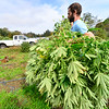 KRISTOPHER RADDER — BRATTLEBORO REFORMER<br /> Andy Loughney, of Bravo Botanicals, harvests some of the hemp plants on Thursday, Oct. 4, 2018, so they can dry them before sending them to be processed into CBD oil.
