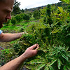 KRISTOPHER RADDER — BRATTLEBORO REFORMER<br /> Andy Loughney, of Bravo Botanicals, examines the buds on the hemp plants to check to make sure they were ready for harvest.