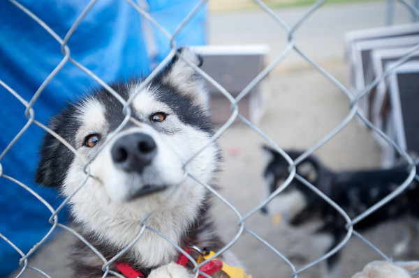 The Lewis and Clark Humane Society is sheltering the rescued dogs where they will be medically treated and evaluated for adoption.<br /> <br /> The HSUS Animal Rescue teams assists the Sheriff's Department and the Lewis and Clark Humane Society and in the rescue of dogs from a large-scale breeder near Helena.