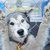 The Lewis and Clark Humane Society is sheltering the rescued dogs where they will be medically treated and evaluated for adoption.<br /> The HSUS Animal Rescue teams assists the Sheriff's Department and the Lewis and Clark Humane Society and in the rescue of dogs from a large-scale breeder near Helena.