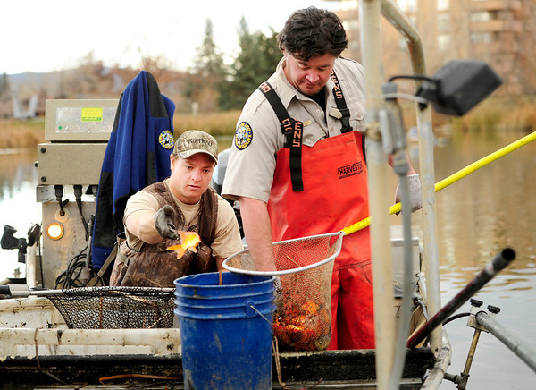 Paul Hladick and Ben Swigle count koi fish and toss them in a bucket at Thunderbird Lake in Admiral Arleigh A. Burke Park, where Colorado Parks and Wildlife staff attempt to remove a population of koi fish in Boulder on Monday Nov. 19, 2012. DAILY CAMERA/ JESSICA CUNEO.