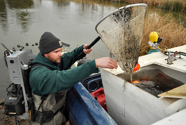Andy Kvien of Colorado Parks and Wildlife empties koi fish into a truck at Thunderbird Lake in Admiral Arleigh A. Burke Park where Colorado Parks and Wildlife staff attempt to remove a population of koi fish in Boulder on Monday Nov. 19, 2012. DAILY CAMERA/ JESSICA CUNEO.