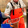 Aquatic Biologist for Colorado Parks and Wildlife Ben Swigle counts koi fish at Thunderbird Lake in Admiral Arleigh A. Burke Park, where Colorado Parks and Wildlife staff attempt to remove a population of koi fish in Boulder on Monday Nov. 19, 2012. DAILY CAMERA/ JESSICA CUNEO.
