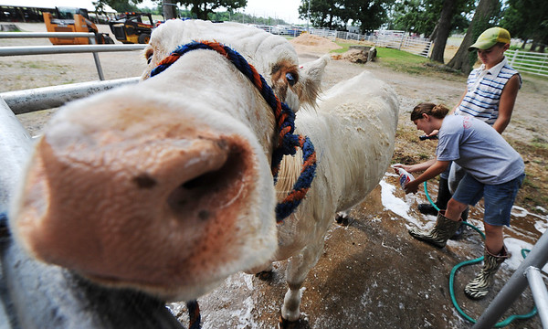 Globe/T. Rob Brown<br /> A heifer seems to enjoy cool water during a wash by siblings Eli, 12, and Emily Meyer, 10, Wednesday morning, July 10, 2013, during the Jasper County Youth Fair.