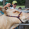 Globe/T. Rob Brown<br /> A heifer seems to enjoy cool water during a wash by Eli Meyer, 12, of Sarcoxie, and his sister, Emily Meyer, 10, Wednesday morning, July 10, 2013, during the Jasper County Youth Fair.