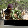 "One of the law enforcement agents packs the marijuana plants in the truck.<br /> The Colorado National Guard helped Boulder County authorities with the removal of the marijuana being grown near the town of Raymond.<br />  For more photos and video of the removal, go to  <a href=""http://www.dailycamera.com"">http://www.dailycamera.com</a>.<br /> Cliff Grassmick / September 1, 2010"