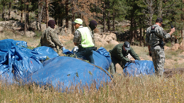 """Authorities prepare the marijuana plants for pick up at the loading area near the intersection of Colo. Highway 7 and Highway 72.<br /> The Colorado National Guard helped Boulder County authorities with the removal of the marijuana being grown near the town of Raymond.<br />  For more photos and video of the removal, go to  <a href=""""http://www.dailycamera.com"""">http://www.dailycamera.com</a>.<br /> Cliff Grassmick / September 1, 2010"""