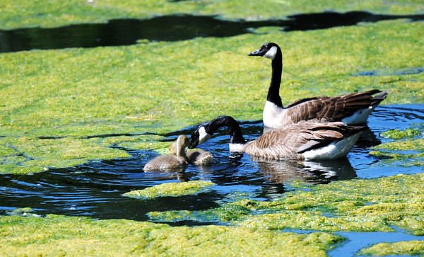 Globe/T. Rob Brown<br /> A family of geese make their way through an algea-covered Honey Creek, a branch of the Elk River, in Southwest City Tuesday morning, May 22, 2012.