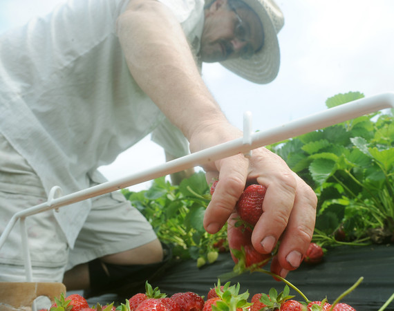 Globe/Roger Nomer<br /> Mike Anger, Pierce City, picks strawberries at Brown's Berry Farm on Friday.