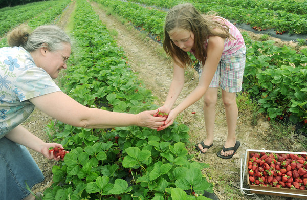 Globe/Roger Nomer<br /> Teresa Keepper and her daughter Sophie, 10, Hurley, pick strawberries at Brown's Berry Farm on Friday.