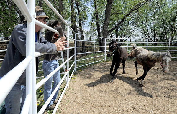 Fearless gives Ember a little kick while being worked in the righ as veteran's Deni Darby (left) and Chrystal Martin (right) watch at Medicine Horse Program in Boulder, Colorado May 16, 2011.  Medicine Horse Program partnered with the Veterans Peace of Mind Project to create Fearless Victory, a program that mixes Veterans suffering from Post Traumatic Stress Disorder (PTSD) with wild horses in a mindful meditation program. CAMERA/Mark Leffingwell