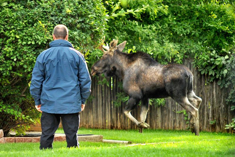 Moose in Broomfield
