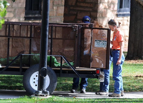 """A mountain lion was tranquilized in a tree next to this pond at the Kittredge dorms on the University of Colorado campus Wednesday afternoon. He is loaded in a green tarp and put in the back of this trailer.<br /> For a video and more photos of the mountain lion, go to  <a href=""""http://www.dailycamera.com"""">http://www.dailycamera.com</a>.<br /> Cliff Grassmick / October 5, 2011"""