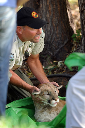 """Pete Taylor of the City of Boulder Open Space and Mountain Parks, holds the head of a mountain lion that was tranquilized in a tree near a pond of the University of Colorado Kittredge dorms  on Wednesday afternoon.<br /> For a video and more photos of the mountain lion, go to  <a href=""""http://www.dailycamera.com"""">http://www.dailycamera.com</a>.<br /> Cliff Grassmick / October 5, 2011"""