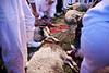 The sacrifice of some 50 lambs for Passover takes no more than a minute. Mount Gerizim, Israel. 17/04/2011.