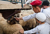 Young Samaritans deliver the lambs soon to be sacrificed for Passover. Mount Gerizim, Israel. 17/04/2011.
