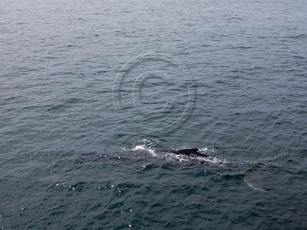 Humpbacks are no longer considered at risk of extinction on a world scale although the specific status of humpback whale recovery in the North Atlantic Ocean and elsewhere is still being evaluated. Boston, MA, USA. 19-July-2012.