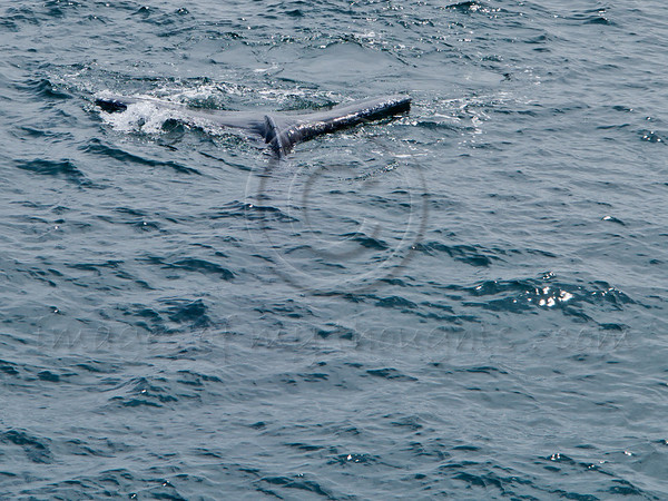Humpback whales arch their back and raise their tail as they prepare for a deep dive. Boston, MA, USA. 19-July-2012.