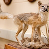 A mounted swift fox specimen on display in the Burkhiser building. A swift fox (Vulpes velox) is a small light gray to tan canid found in the shortgrass prairies of western Nebraska. Swift fox are about half the size of the more common red fox (Vulpes vulpes), and although color varies in both species, swift fox lack the distinctive black spots that red fox display on the back of their ears and the white tail tip. (Miranda Wieczorek/ Chadron State College)