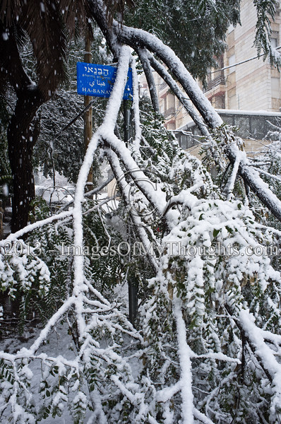 Fallen trees block roads citywide as snowfall continues. Jerusalem, Israel. 10-Jan-2013.  A beautiful soft white blanket covers Jerusalem as the storm of the last few days climaxes and realizes forecasts. Jerusalem is besieged as public transportation is at a total standstill citywide and Road 1 to Jerusalem from the coastline is closed.