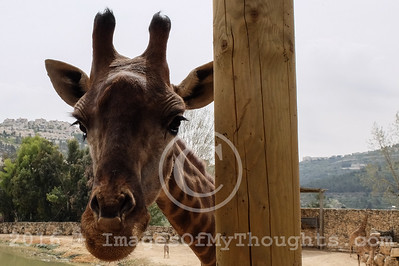 Israel: Newborn Giraffes in Jerusalem Zoo