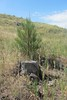 A young pine planted as part of the recovery project on the west end of the 2006 burn area on C-Hill next to a burned stump based on the theory the location was good for tree growth. (Photo by George Ledbetter)