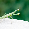 A  European praying mantis (Mantis religiosa), common in the Chadron area according to Dr. Mathew Brust, rests near the steps of Sparks Hall Thursday, Sept. 29, 2016. (Photo by Tena L. Cook/Chadron State College)