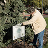 Chadron State College horticulturist Lucinda Mays places a sign on the Deans Green next to the Nebraska Champion Colorado blue spruce. (Photo by Tena L. Cook/Chadron State College)