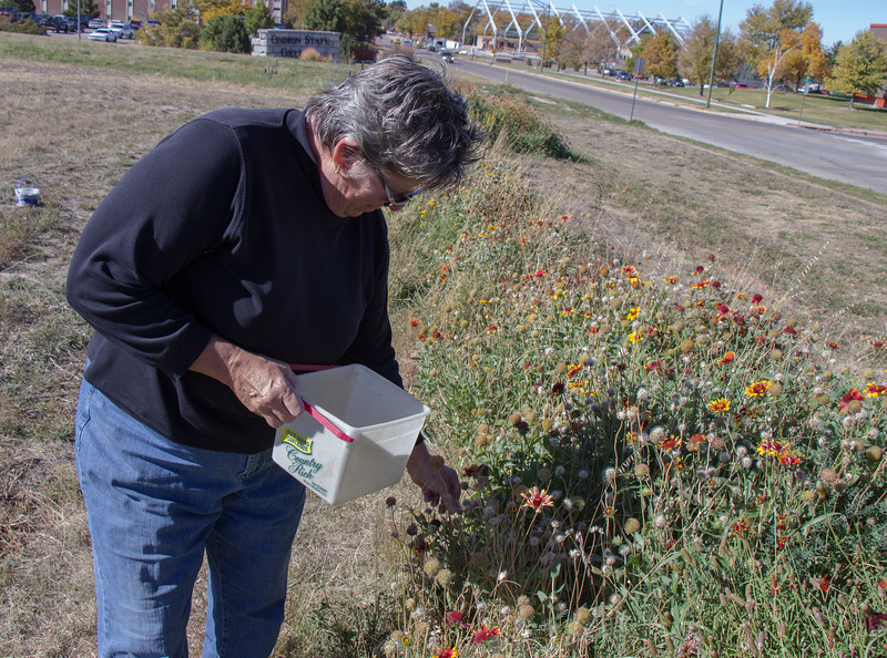 Lucinda Mays, Chadron State College campus horticulturist, harvests wildflower seeds from CSC's Living Fence along 10th Street Oct. 20, 2016. (Photo by Conor Casey/Chadron State College)